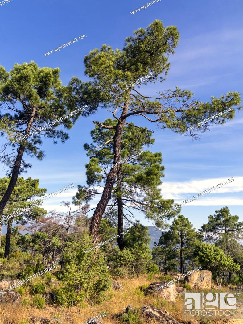 Stock Photo: Big pines in Cadalso de los Vidrios on a sunny day. Madrid. Spain. Europe.