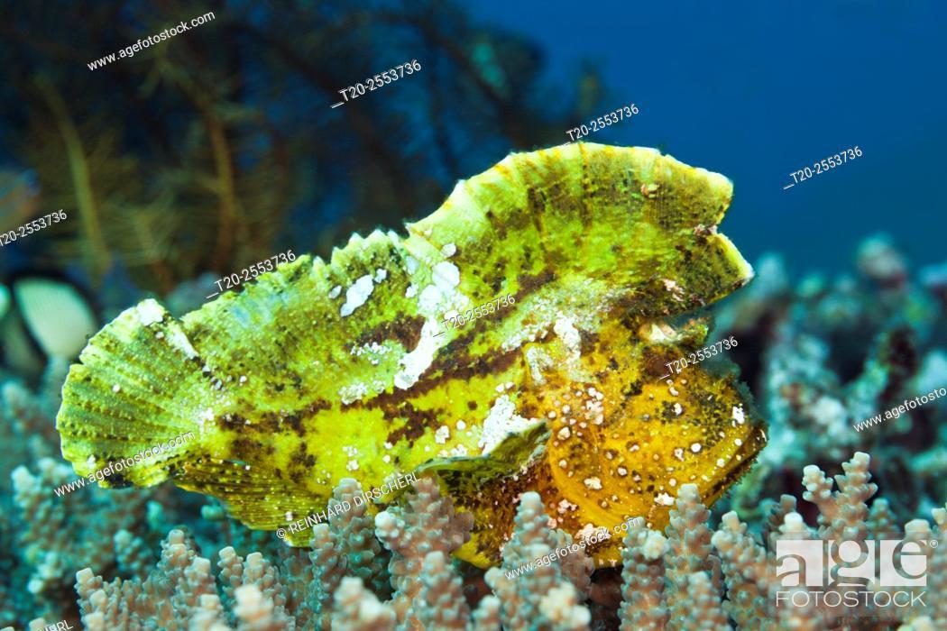 Stock Photo: Yellow Leaf Fish, Taenionotus triacanthus, Bali, Indonesia.