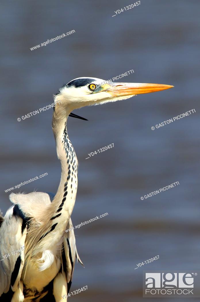 Stock Photo: Grey heron Ardea cinerea, fishing, Kruger National Park, South Africa.