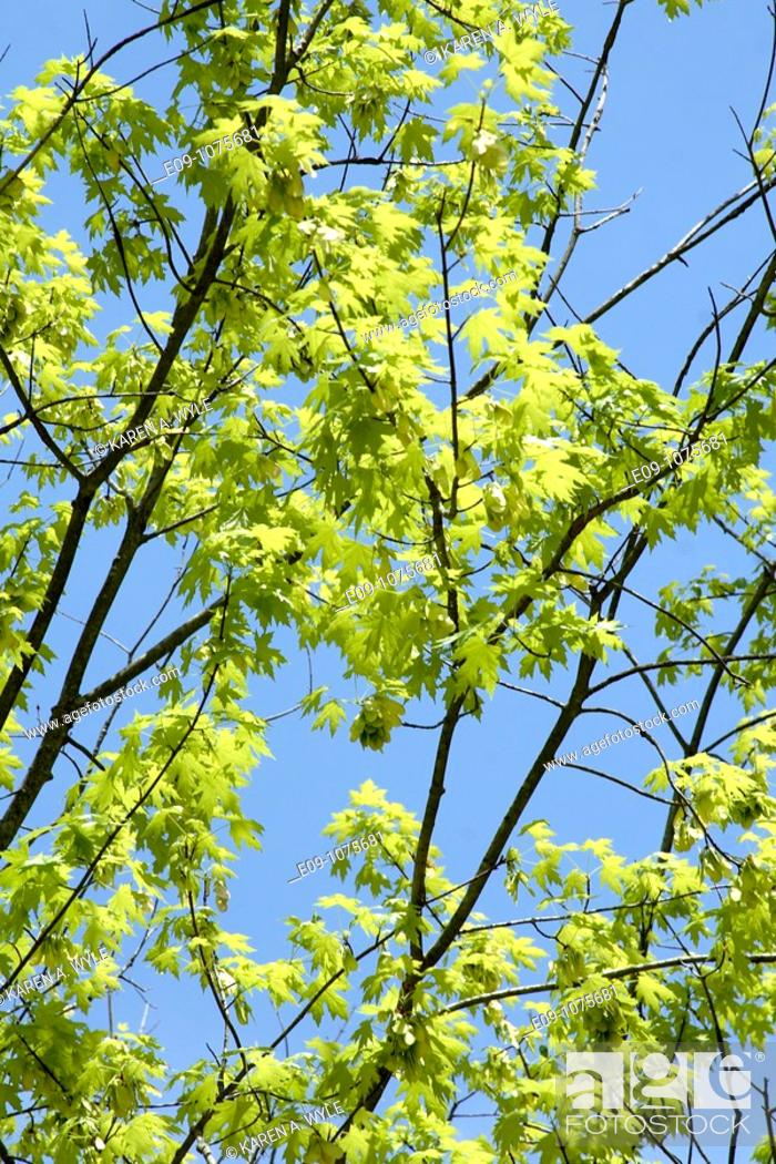 Stock Photo: new spring leaves on silver maple, blue sky, Monroe County, Indiana.