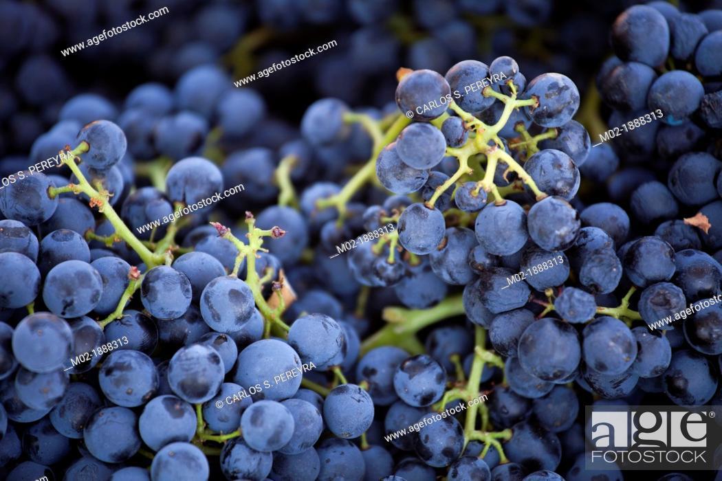 Stock Photo: Harvest season in Briones, La Rioja, Spain.