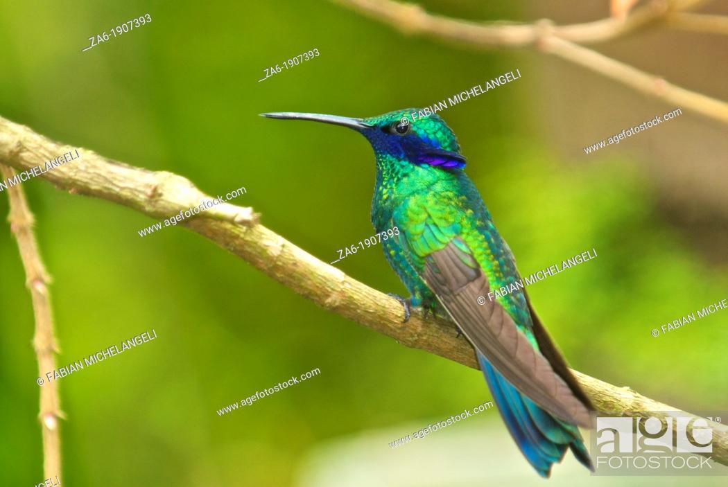 Stock Photo: Sparkling violetear hummingbird Colibri coruscans perched in the rain forest of northern Venezuela.