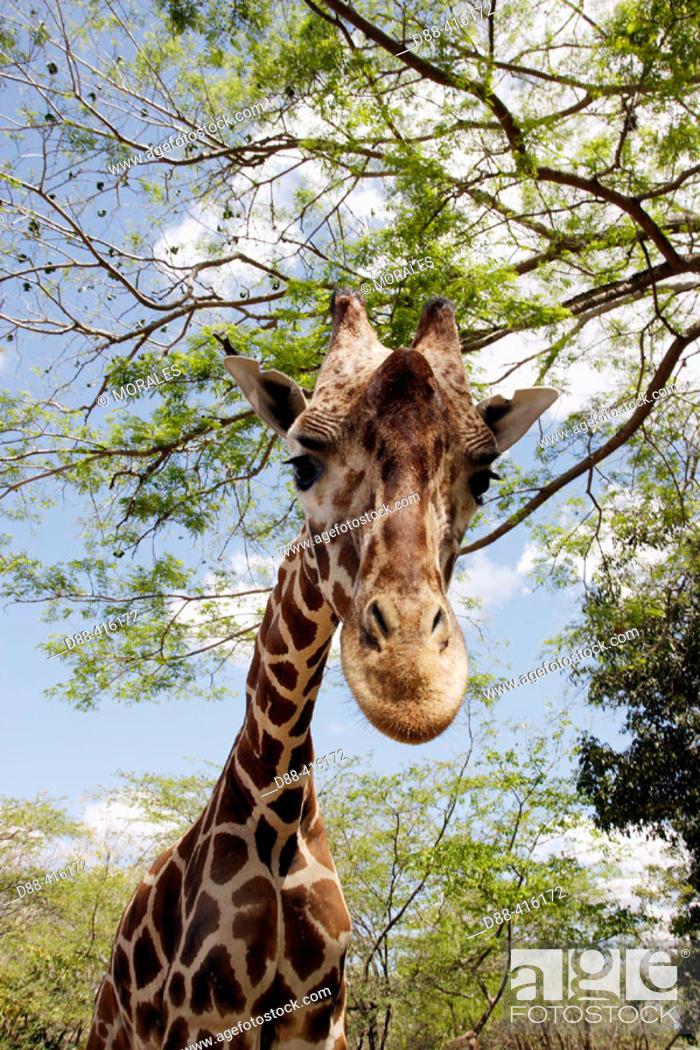 Stock Photo: Giraffe (Giraffa camelopardalis). Venezuela.