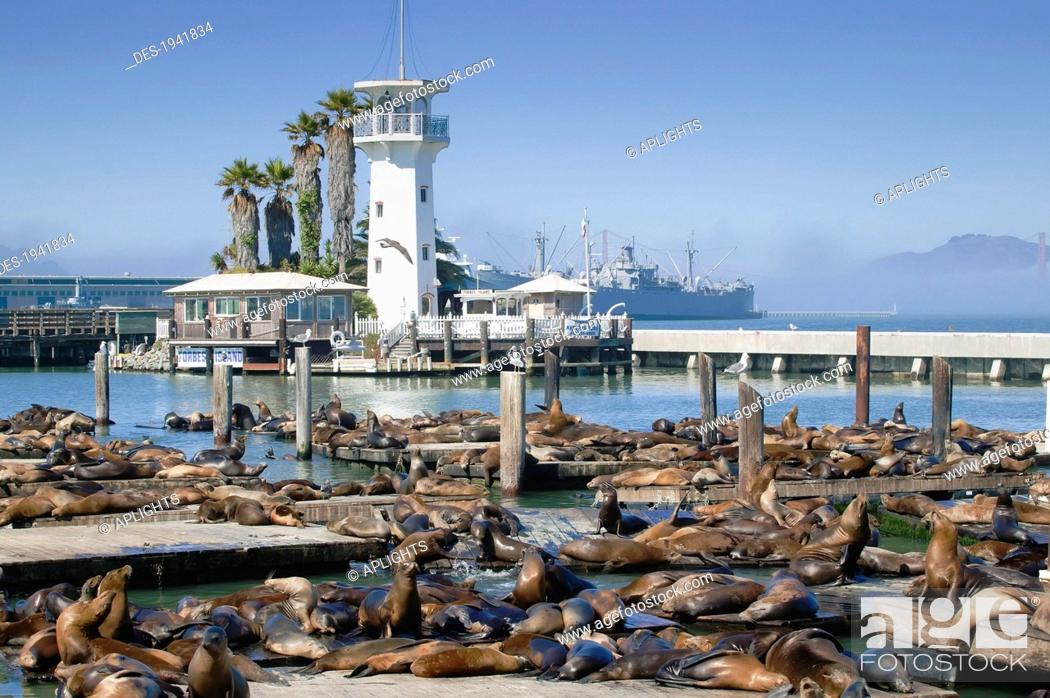 Stock Photo: sea lions on pier 39, san francisco california united states of america.