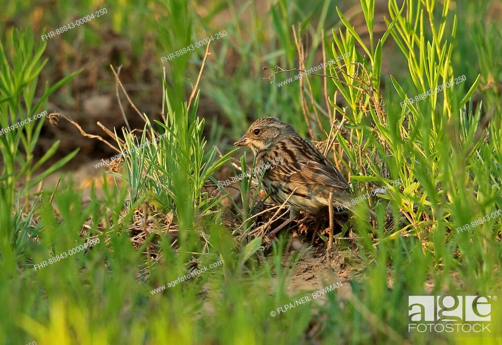 Imagen: Black-faced Bunting (Emberiza spodocephala) adult female, feeding on ground, Hebei, China, May.