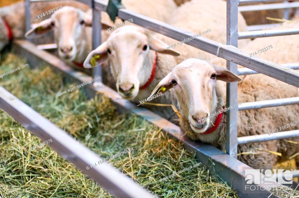 Stock Photo: Livestock fair in Saragossa  Aragon, Spain, Europe.