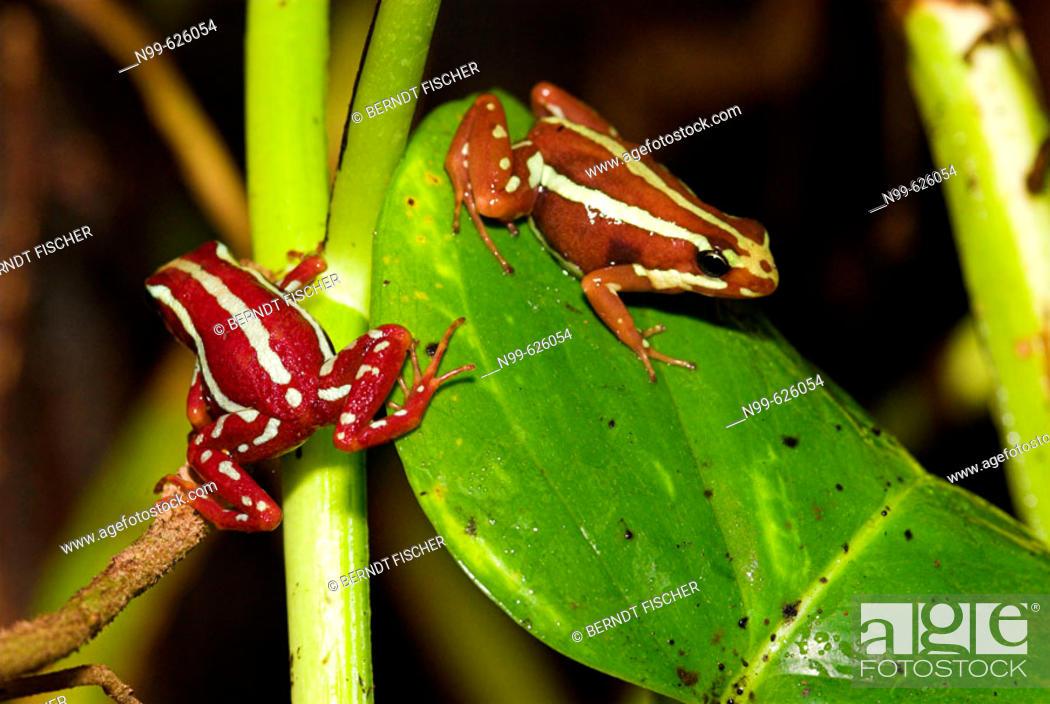 Stock Photo: Three-striped Poison Frog (Epipedobates tricolor). Rainforest. Peru.