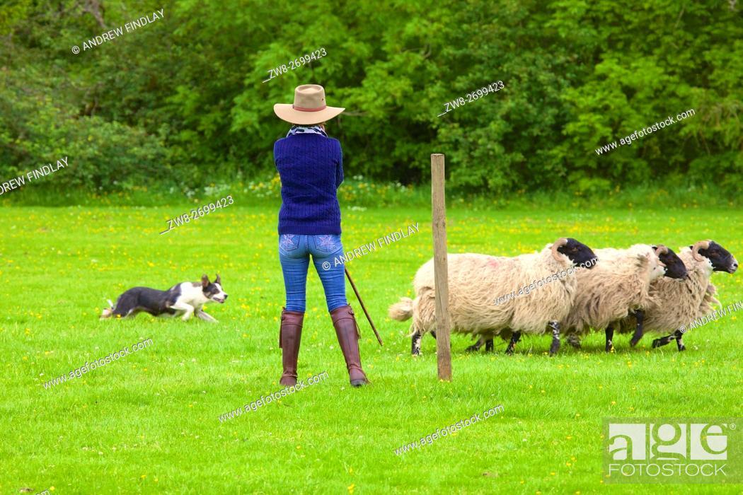 Stock Photo: Katy Cropper Shepherdess competing at Alston Sheep Dog Trials, Alston, Cumbria, England, United Kingdom, Europe.