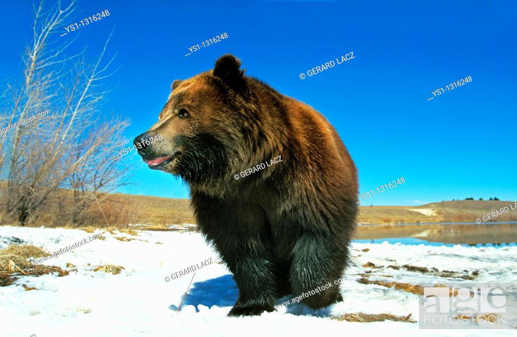 Stock Photo: KODIAK BEAR ursus arctos middendorffi, ADULT STANDING ON SNOW, ALASKA.