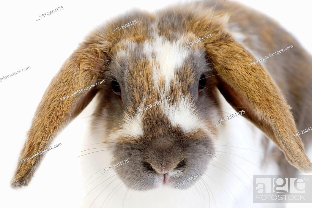Stock Photo: Lop-Eared Domestic Rabbit, Adult against White Background.