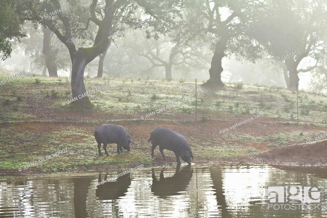 Stock Photo: Iberian Pigs, Sierra de Aracena Natural Park, Huelva, Andalucia, Spain, Europe.