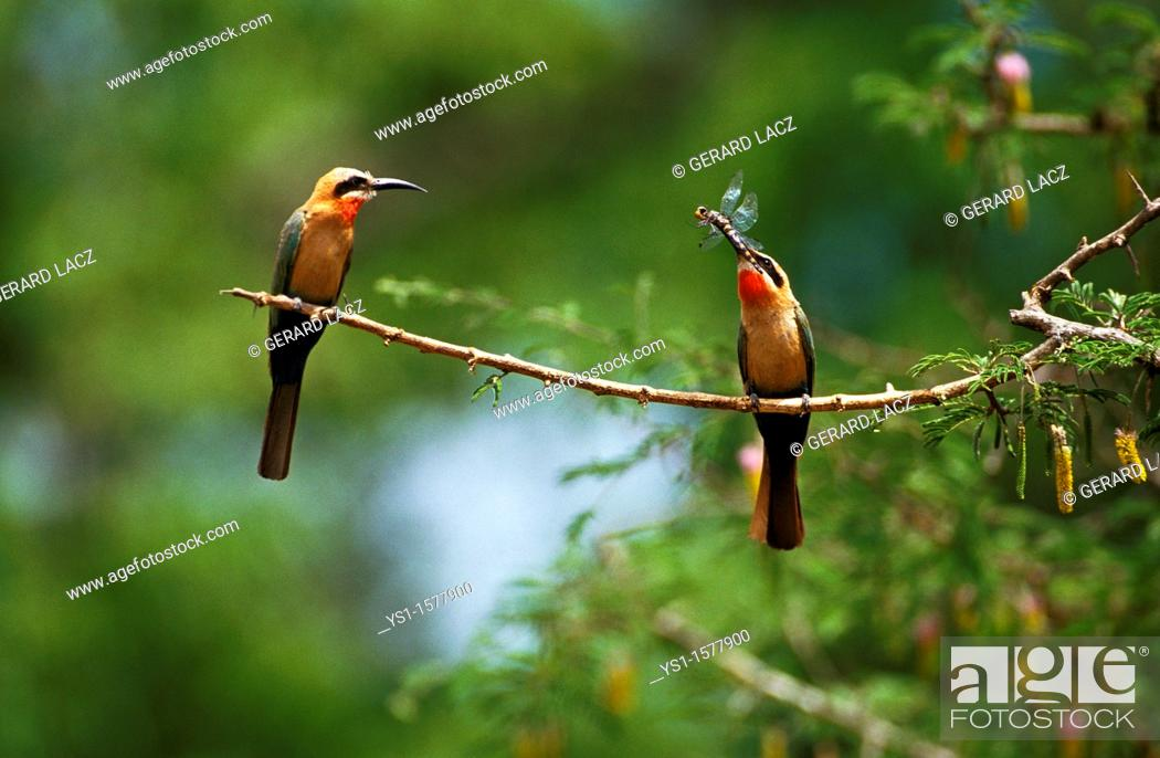 Stock Photo: White Fronted Bee Eater, merops bullockoides, Adults standing on Branch, Dragonfly in Beak, Kenya.