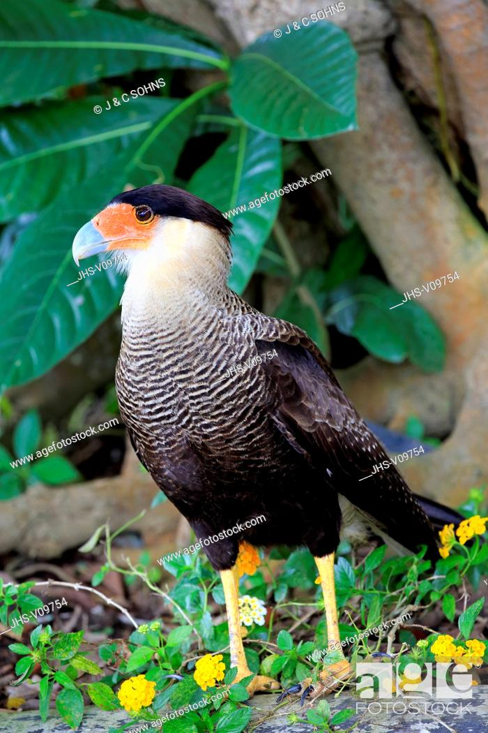 Stock Photo: Crested Caracara, (Polyborus plancus), adult on ground searching for food, Pantanal, Mato Grosso, Brazil, South America.
