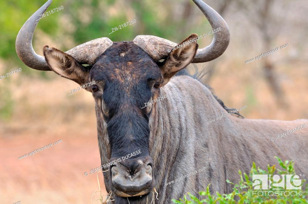 Stock Photo: Blue wildebeest, (Connochaetes taurinus), eating grass, Kruger National Park, South Africa, Africa.