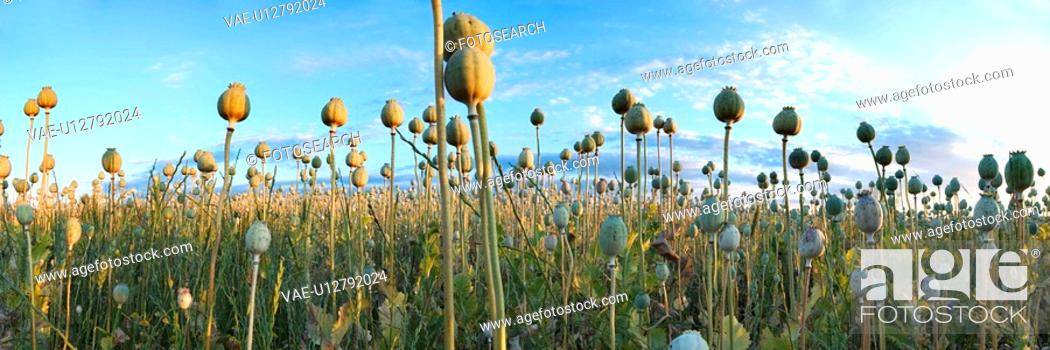 Stock Photo: day, acre, corn poppy, corn, alfred, abenddaemmerung.