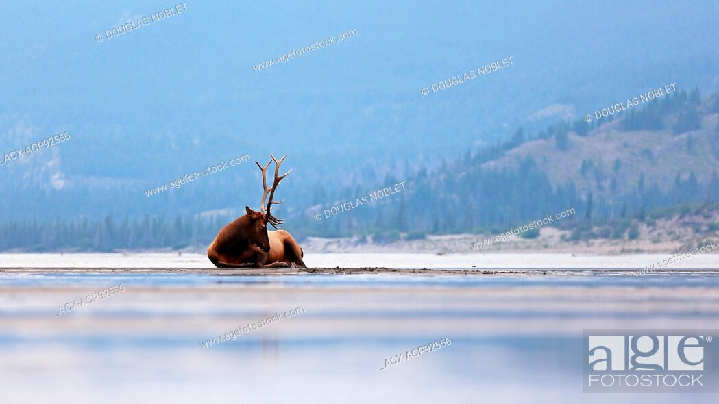 Stock Photo: Male Elk lounging on shoreline on a lake in Jasper National Park, British Columbia, Canada.