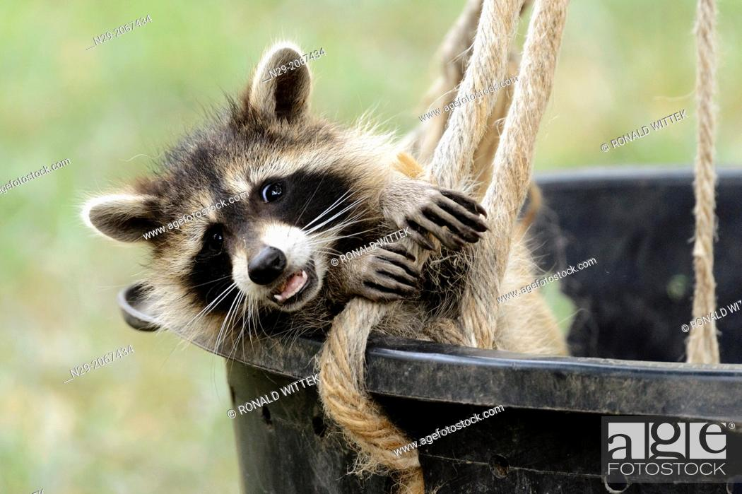 Stock Photo: Procyon lotor, racoon, captive, Germany.