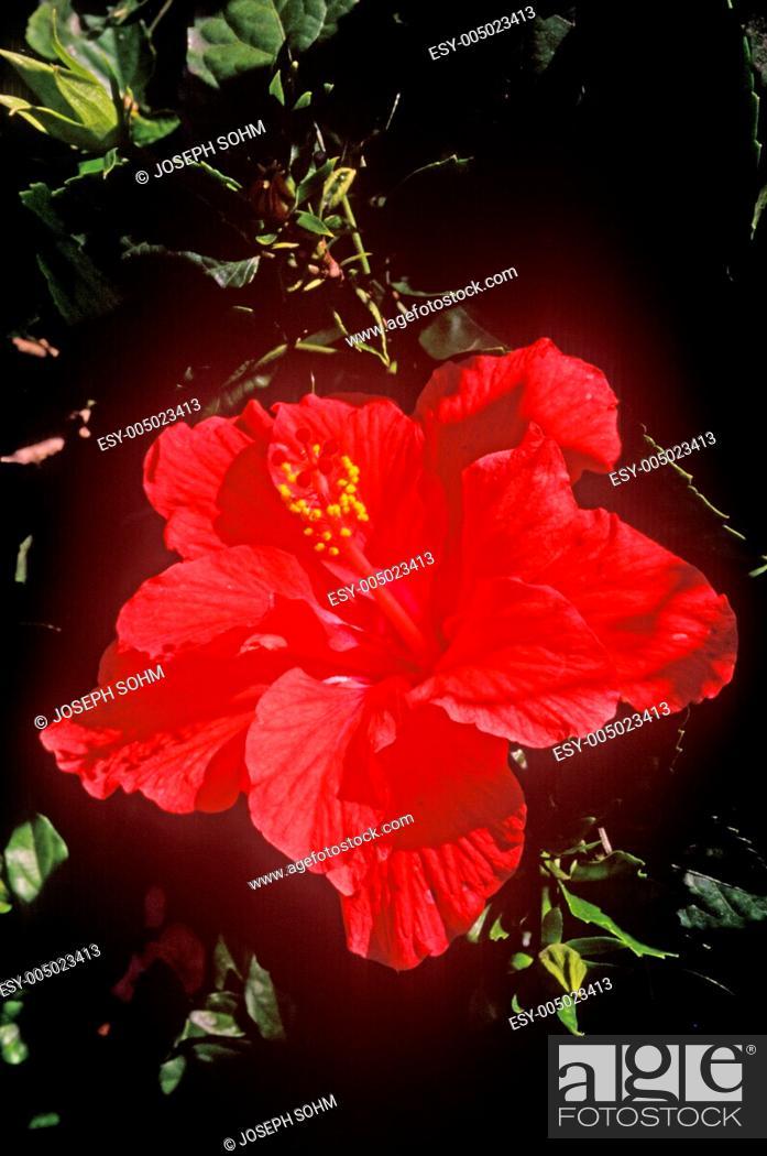 Stock Photo: Hibiscus in Bloom, Miami, FL.