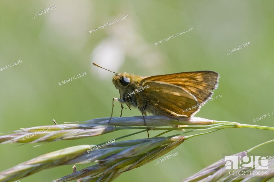 Stock Photo: Essex Skipper, Thymelicus lineola, small skipper similar to the Small Skipper, Thymelicus sylvestris. Distinguished by the black antennae tips.