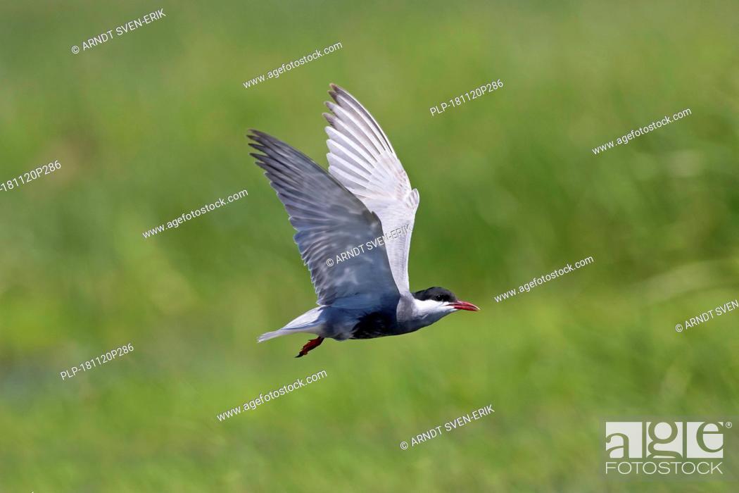 Stock Photo: Whiskered tern (Chlidonias hybrida / Chlidonias hybridus) flying over wetland, migratory bird breeding on inland lakes, marshes and rivers in Europe.