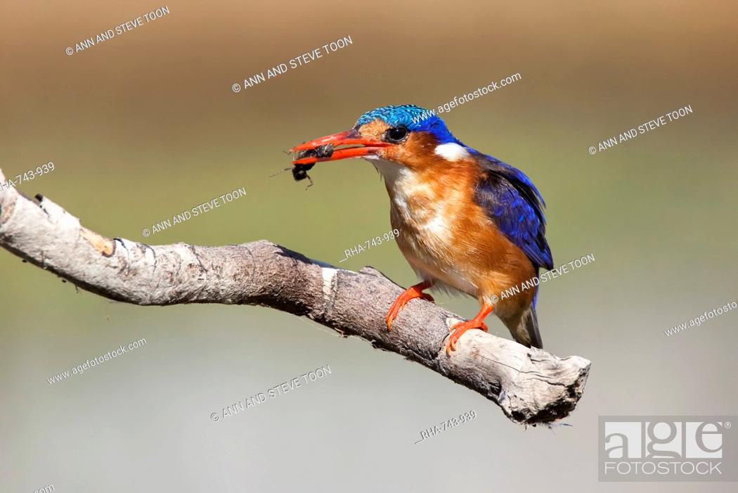Stock Photo: Malachite kingfisher Alcedo cristata with beetle, Intaka Island, Cape Town, South Africa, Africa.