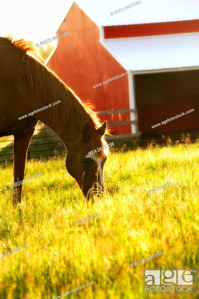 Stock Photo: A horse eating in a field near Rockford, Washington, USA.