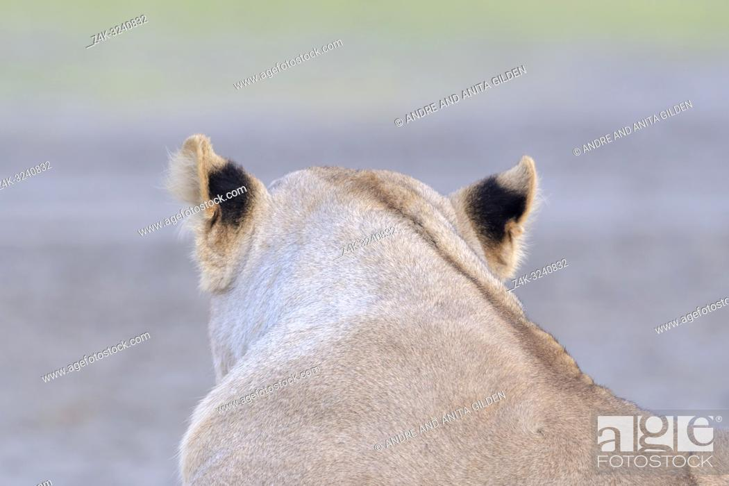 Imagen: Lioness (Panthera leo) black patches on ears seen from behind, Ngorongoro conservation area, Tanzania.