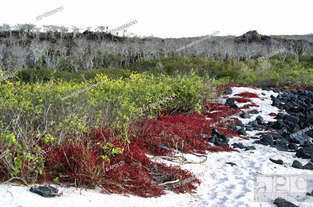 Photo de stock: Cost vegetation with Galapagos carpetweed (Sesuvium edmonstonei), an endemic succulent plant, Floreana Island, Galapagos Islands, Ecuador.