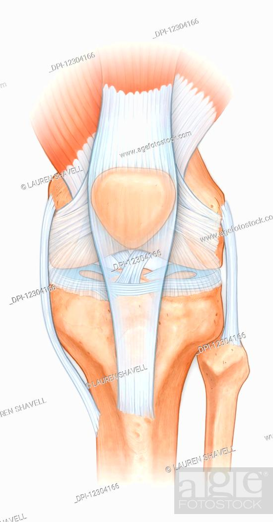 Normal Anatomy Of The Knee Joint Femur Tibia Fibula Patella With