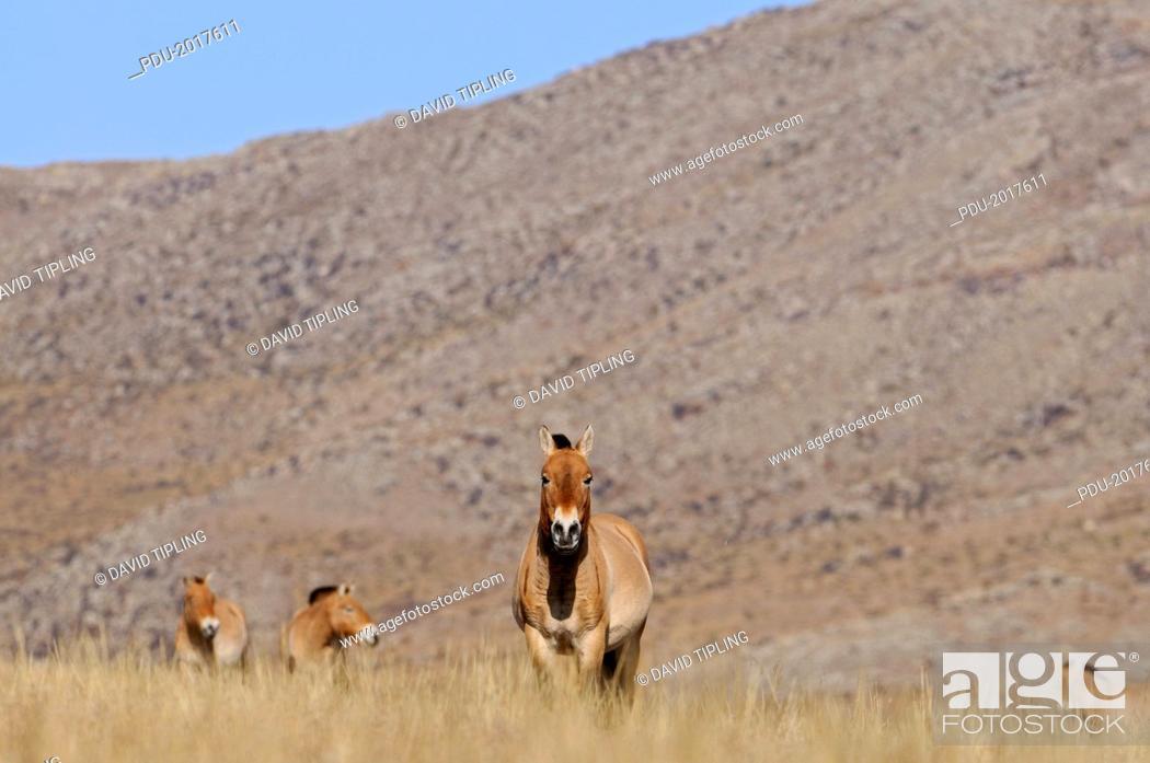 Stock Photo: Przewalskii's Horse Equus ferus przewalskii, stall.