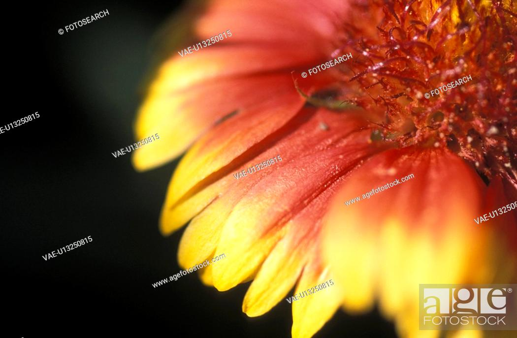 Stock Photo: kokardenblume, beetpflanze, gartenpflanze, aristata, austria, burgenland, calf.