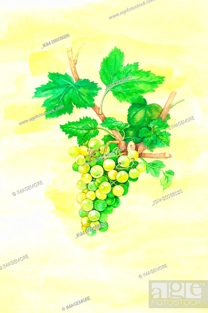 Stock Photo: Flower, Watercolor painting of grapes.