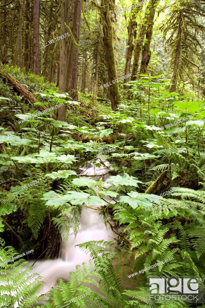 Stock Photo: Stream in Rockport State Park, Washington.
