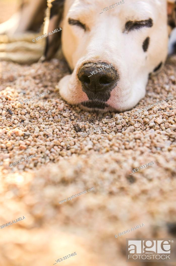 Stock Photo: Dalmatian dog resting in garden.
