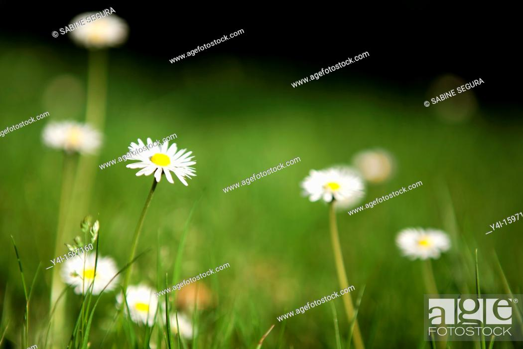 Stock Photo: Daisies in a meadow.