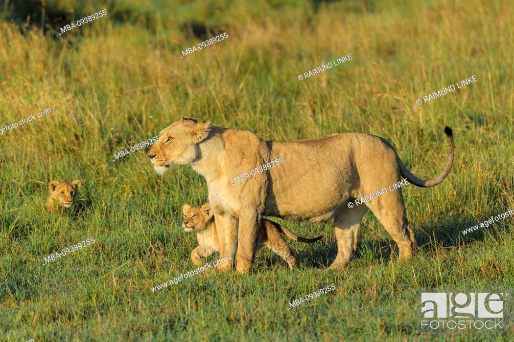 Stock Photo: African lion, Panthera Leo, female with two cub, Masai Mara National Reserve, Kenya, Africa.