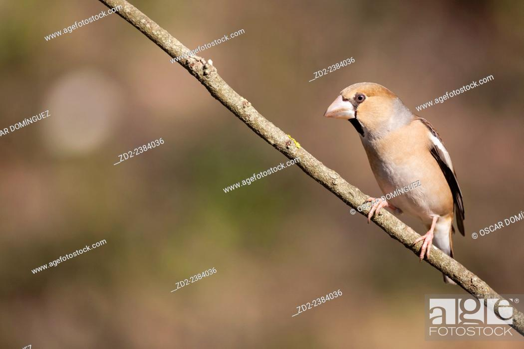 Imagen: Hawfinch (Coccothraustes coccothraustes) perched on branch. Collserola Natural Park. Catalonia. Spain.