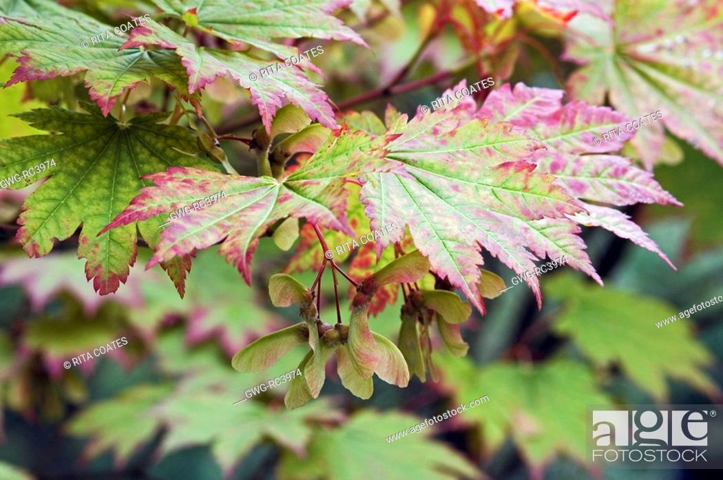 Imagen: ACER JAPONICUM LEAVES AND WINGED SEEDS IN AUTUMN.
