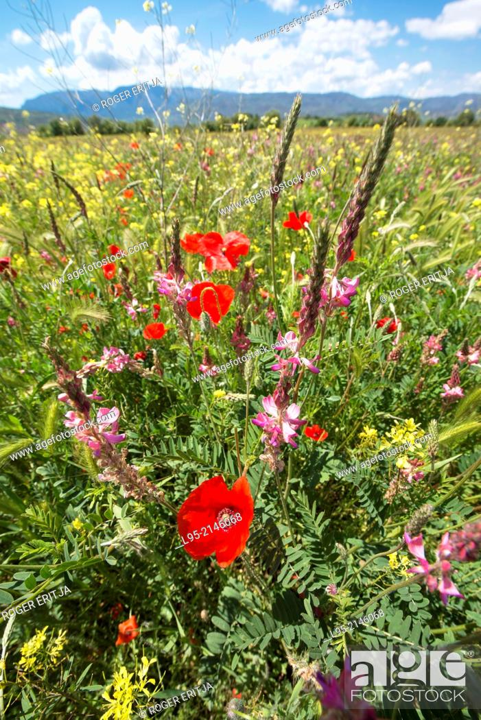 Stock Photo: Wildflowers including red Poppies in steppic areas in spring, spain.