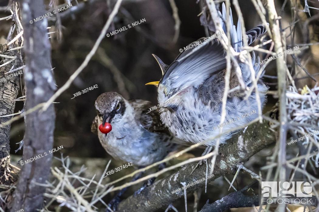 Stock Photo: Adult Galápagos mockingbird, Mimus parvulus, feeding chick on Santa Cruz Island, Galápagos, Ecuador.