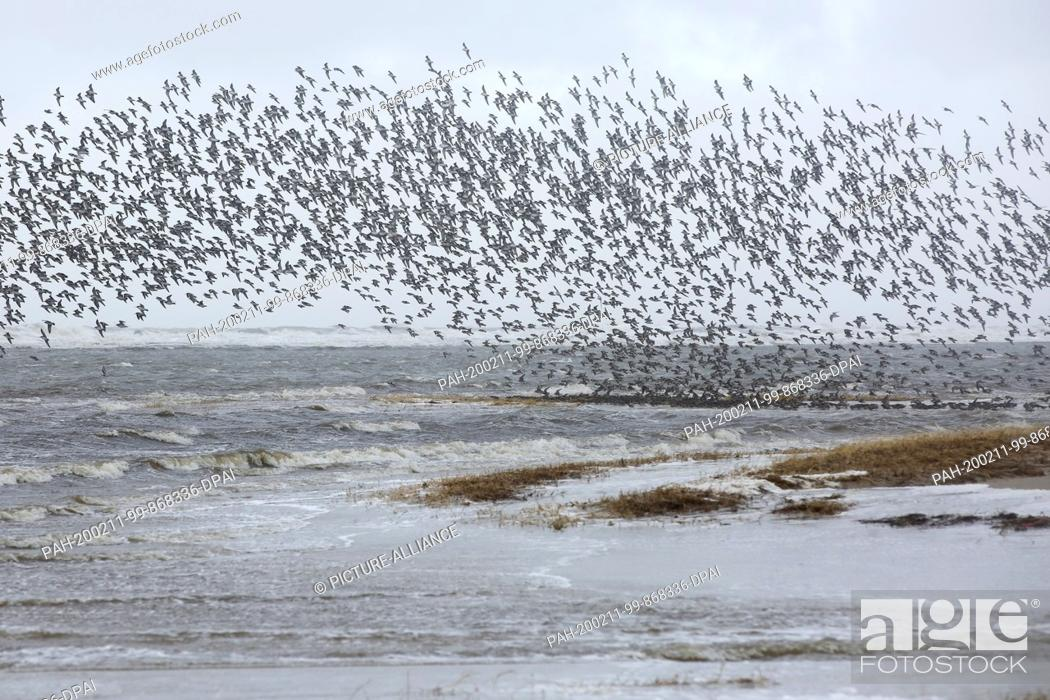 Stock Photo: 11 February 2020, Schleswig-Holstein, St. Peter-Ording: A flock of birds flies at rising water on the beach of St. Peter-Ording.
