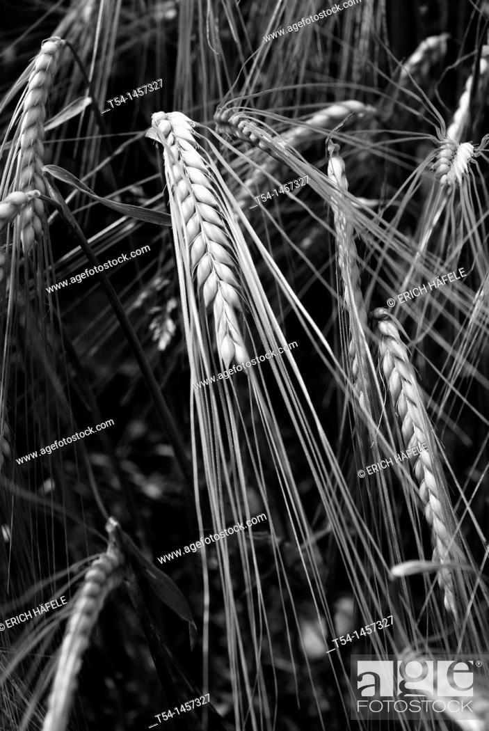Stock Photo: Barley in a barley field.