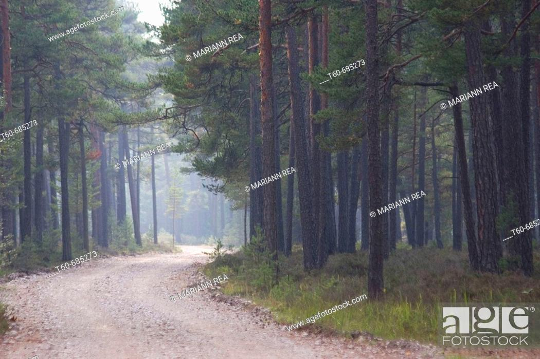 Stock Photo: Fog in a pinetree forest.
