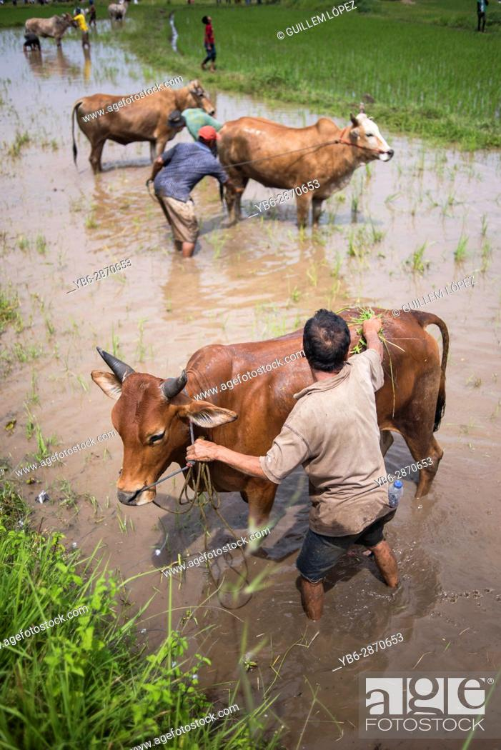 Stock Photo: A local farmer washes and prepares his how during the famous cow race of Pacu Jawi in West Sumatra, Indonesia.