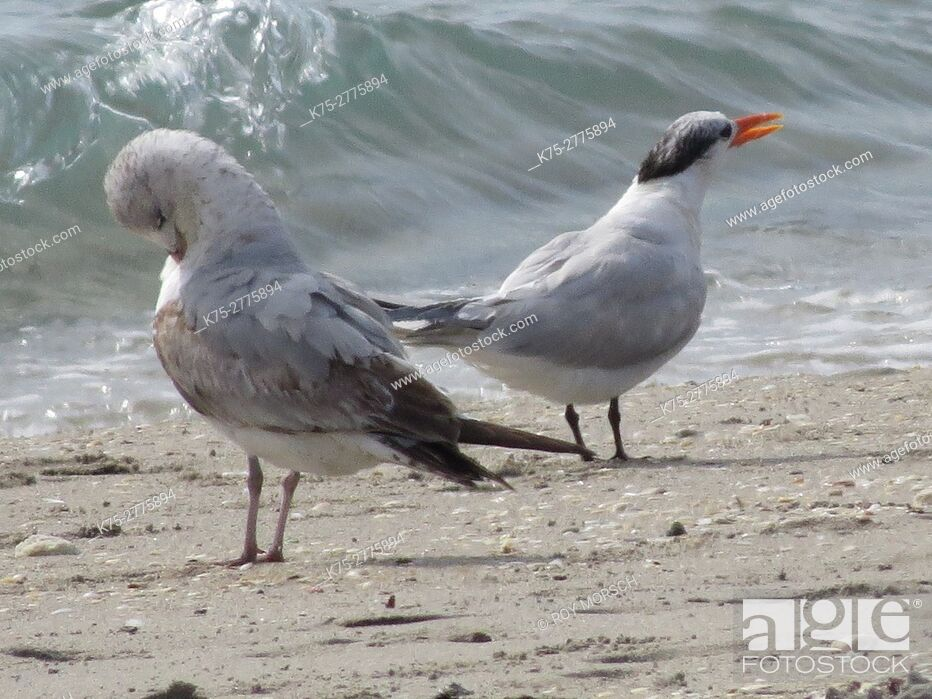 Stock Photo: Immature ring-billed gull and royal tern.