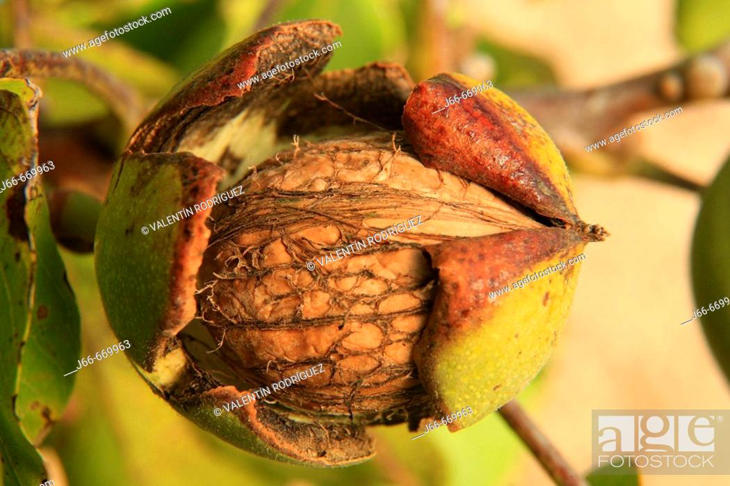 Stock Photo: Nut in walnut tree (Juglans regia).