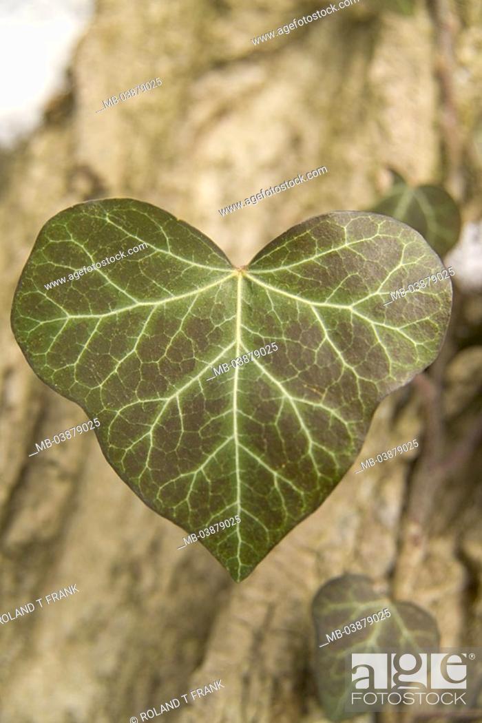 Stock Photo: Ivy, Hedera spec, detail, leaves, fuzziness, nature, vegetation, botany, plant, climbing plant, supple-plant, ivy-leaves, outside,.