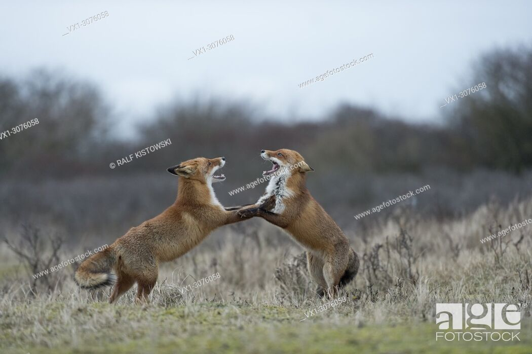 Stock Photo: Red Foxes ( Vulpes vulpes ) in fight, fighting, standing on hind legs, threatening with wide open jaws, while rutting season, wildlife, Europe. . .
