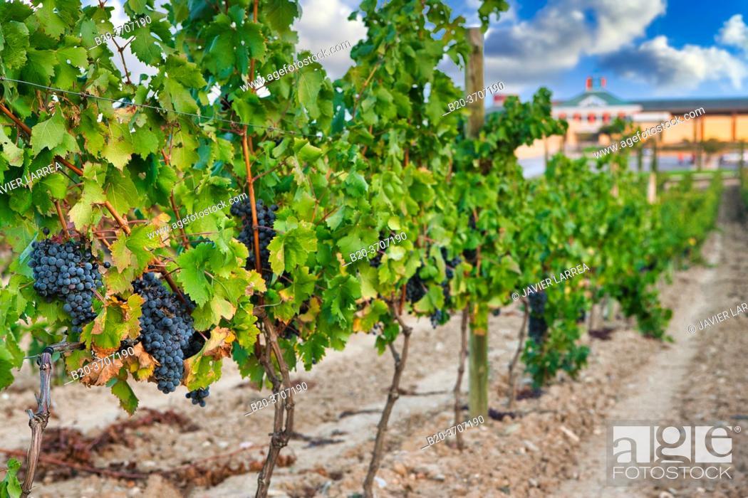 Photo de stock: Vineyards. Museum of Viticulture, Dinastia Vivanco winery in Briones. La Rioja, Spain, Europe.