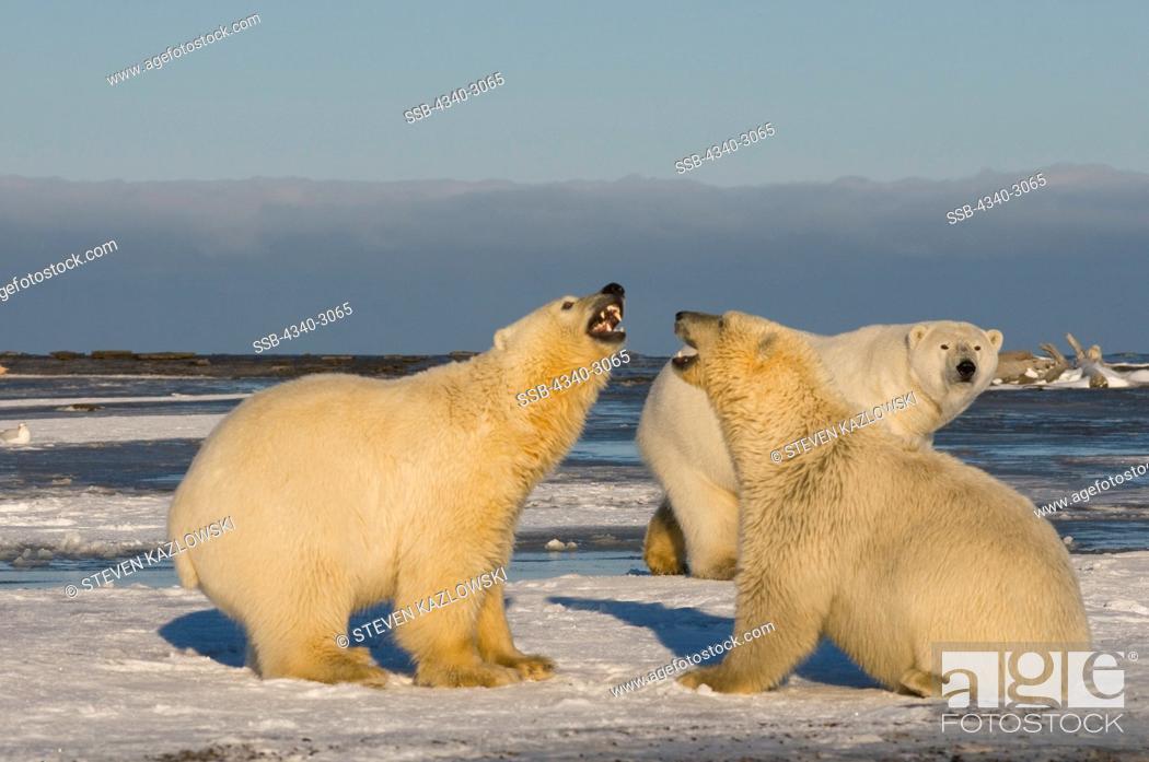 Stock Photo: USA, Alaska, Brooks Range, Polar bear (Ursus maritimus) pair of subadults engaging in play along arctic coast during fall freeze up.